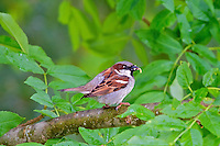 Sparrow with small worm