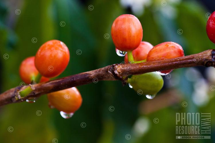 Ripening coffee cherries at a coffee plantation in Kona, Big Island
