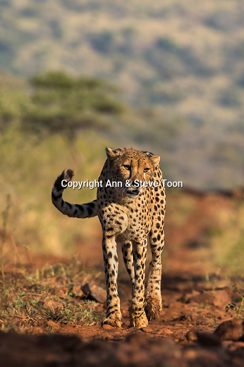 Cheetah (Acinonyx jubatus), Zimanga private game reserve, KwaZulu-Natal, South Africa, May 2017