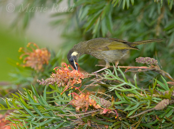 Lewin's Honeyeater (Meliphaga lewinii), feeding from Grevillea flowers, Lamington National Park, Queensland, Australia