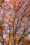 White oaks in the Arnold Arboretum, Boston, MA
