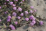 Blooming sand verbena