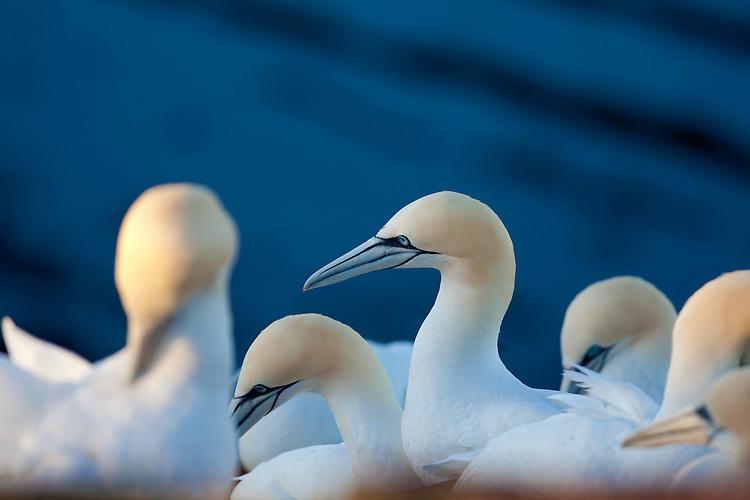 Europa, DEU, Deutschland, Schleswig-Holstein, Deutsche Bucht, Helgoland, Vogelfelsen, Vogelkolonie, Natur- und Vogelschutzgebiet Lummenfelsen, Basstoelpel, Sula bassana, Der Lummenfelsen auf der Nordseeinsel Helgoland ist das kleinste Naturschutzgebiet Deutschlands. Es ist der einzige Brutplatz in Deutschland fuer den Basstoelpel. Weitere bekannte Brutgebiete dieser Toelpelart sind der Vogelfelsen von Látrabjarg auf Island, wo einige Millionen Seevoegel leben - u.a auch Papageientaucher und Lummen, sowie die unbewohnte Insel Bass Rock bei Schottland., Kategorien und Themen, Tiere, Tier, Wildtiere, Tierfoto, Tierfotos, Tierphoto, Tierphotos, Tierfotografie, Tierphotographie, Wildlife, Natur, Naturfoto, Naturfotos, Naturfotografie, Naturphoto, Naturphotographie<br /> <br /> [Fuer die Nutzung gelten die jeweils gueltigen Allgemeinen Liefer-und Geschaeftsbedingungen. Nutzung nur gegen Verwendungsmeldung und Nachweis. Download der AGB unter http://www.image-box.com oder werden auf Anfrage zugesendet. Freigabe ist vorher erforderlich. Jede Nutzung des Fotos ist honorarpflichtig gemaess derzeit gueltiger MFM Liste - Kontakt, Uwe Schmid-Fotografie, Duisburg, Tel. (+49).2065.677997, archiv@image-box.com, www.image-box.com]