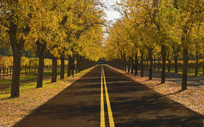 Road leads through trees and vineyards with fall colors