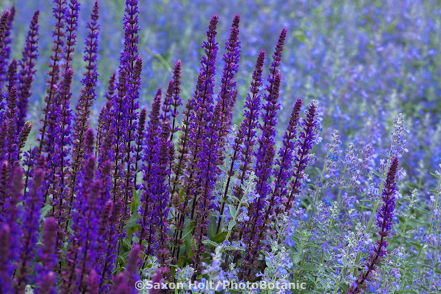 Meadow Sage, Caradonna Wood Sage, Salvia nemorosa 'Caradonna' mixed with Catmint Nepeta faassenii in perennial border