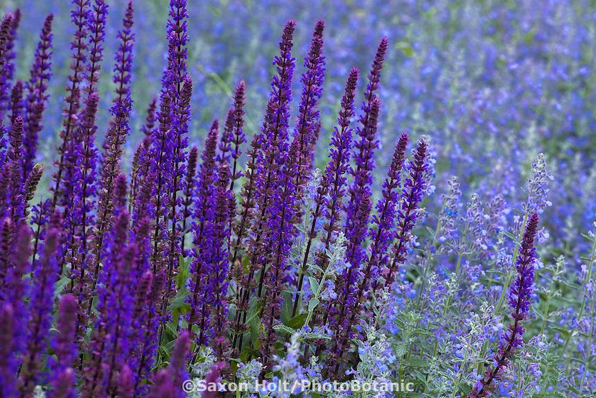 Meadow Sage, Caradonna Wood Sage, Salvia nemorosa 'Caradonna' mixed with Catmint Nepeta faassenii in perennial border