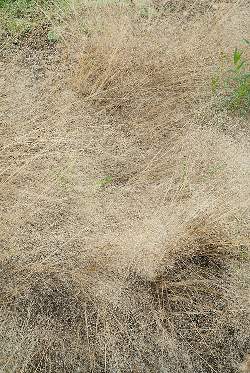 Agrostis nebulosa Ornamental Cloud Grass with seeds