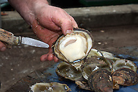 BARNES OYSTERS