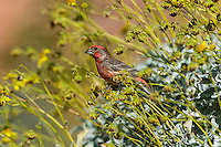 Male House Finch (Haemorhous mexicanus) on Brittlebush or brittlebrush (Encelia farinosa) plant.  Sonoran Desert, CA.  February.