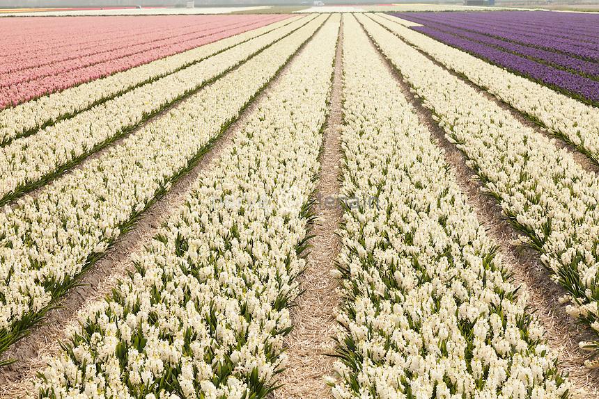 """Hollande, région des champs de fleurs, Lisse, champs de jacinthes (Hyacinthus) // Holland, """"Dune and Bulb Region"""" in April, Lisse, here, fields of hyacinths."""