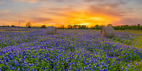 Texas Bluebonnet Sunset Panorama -Texas Bluebonnet Wildflowers Landscape Prints<br />
