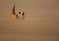 Common Seal (Phoca vitulina) pub resting on a sandbank during a sandstorm, Donna Nook, Lincolnshire