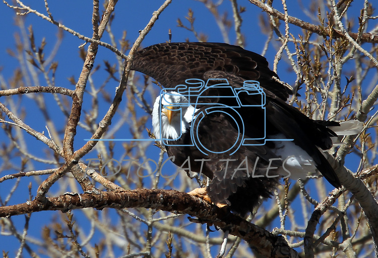 A bald eagle takes off from a tree on a ranch in Minden, Nev. on Monday, Jan. 21, 2013. .Photo by Cathleen Allison