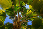 Palm, Havana, Cuba