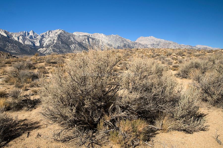Sagebrush in the desert - Lone Pine, California.