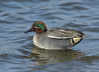 Teal Anas crecca - Male. L 34-38cm. Our smallest duck. Forms flocks outside breeding season. Often nervous and flighty. In flight, both sexes show white-bordered green speculum. Sexes are otherwise dissimilar. Adult male has chestnut-orange head with yellow-bordered green patch through eye. Plumage is otherwise finely marked grey except for black-bordered yellow stern and horizontal white line along flanks. Bill is dark grey. In eclipse, resembles adult female. Adult female has mottled grey-brown plumage. Bill is grey with hint of yellow at base. Juvenile is similar to adult female but warmer buff. Voice Male utters a ringing whistle, female utters a soft quack. Status Associated with water. Nests in small numbers beside pools and bogs mainly in N. Locally common outside breeding season on freshwater marshes, estuaries and mudflats.