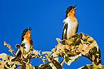 Passaros do Cerrado. Cypsnagra hirundinacea, Bandoleta. Foto de Sergio Amaral.