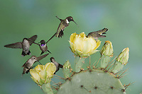 Black-chinned Hummingbird, Archilochus alexandri,group of males and females in flight feeding on Texas Prickly Pear Cactus (Opuntia lindheimeri), Uvalde County, Hill Country, Texas, USA, April 2006