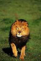 African lion (Panthera leo) male running.