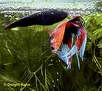 BY05-157z  Siamese Fighting Fish - male catching eggs released by female - Betta splendens