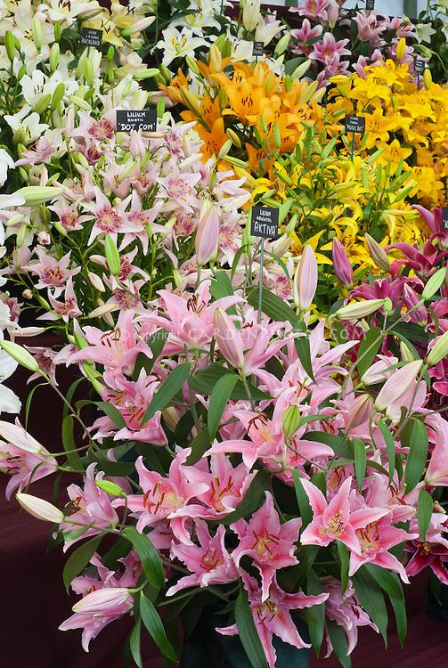 Mixed Lilies - Wilford Bulbs exhibit Lilium Oriental Aktiva, Kabana, Asiatic Dot Com & Music Art, LA hybrid Auckland & Brazil