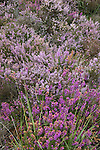 Heather on Picket Plain, New Forest National Park, Hampshire, England UK