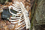 Whitetail deer skeleton