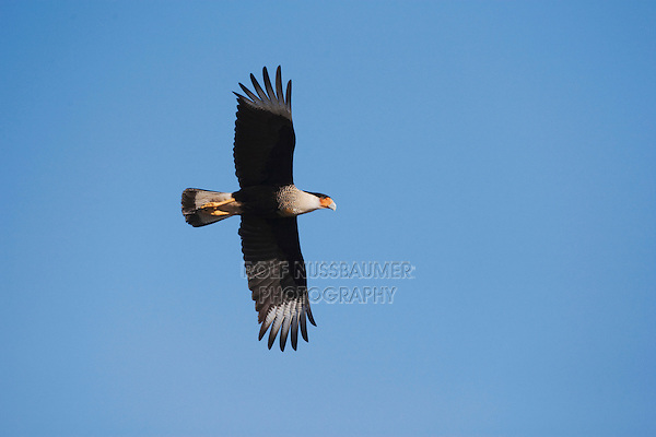 Crested Caracara (Caracara plancus), adult in flight, Sinton, Corpus Christi, Coastal Bend, Texas, USA