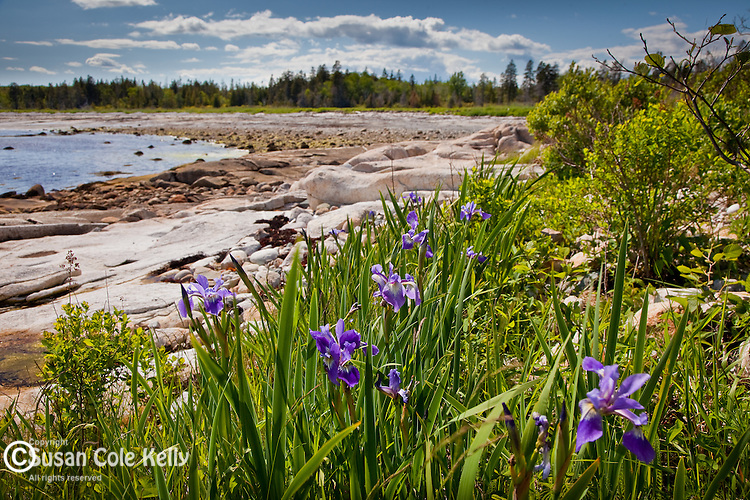 Wild iris in the Petit Manan Unit, Maine Coastal Islands National Wildlife Refuge, Steuben, ME, USA