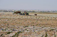 EGYPT, Bahariyya Oasis, desert farming, salinization problems due to  irrigation  / AEGYPTEN, Oase Bahariya, Landwirtschaft in der Wueste, Versalzung durch Bewaesserung