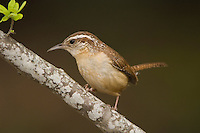 Carolina Wren, Thryothorus ludovicianus, adult, Uvalde County, Hill Country, Texas, USA, April 2006