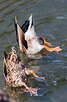 A male and female mallard exhibit feeding by dabbling, upending in shallow water and dabbling.
