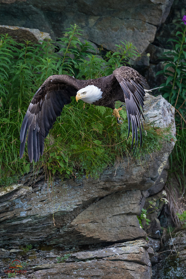Bald Eagle (Haliaeetus leucocephalus) takes a dive off its perch on the rocks overlooking a bay in Alaska.