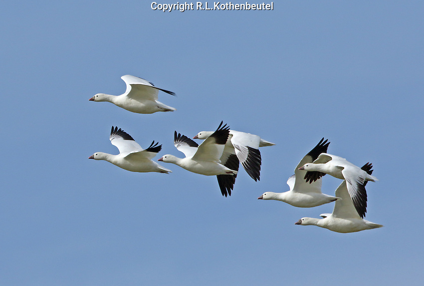 A small flock of the many thousands of Ross's geese that gather at Klamath.<br /> Tule Lake<br /> Klamath Basin National Wildlife Refuges, California<br /> 3/30/2015