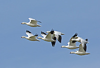 A small flock of the many thousands of Ross's geese that gather at Klamath.<br />