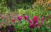 Peony 'Adolphe Rousseau' flowering in Alaska Botanical Garden, Anchorage with perennials