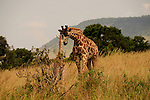 A mother giraffe nuzzles her baby in Africa.