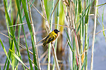 Yellow-collared Weaver