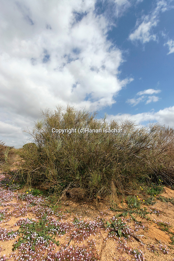 Israel, Southern Coastal Plain. White Broom (Retama raetam) in Ashdod dunes