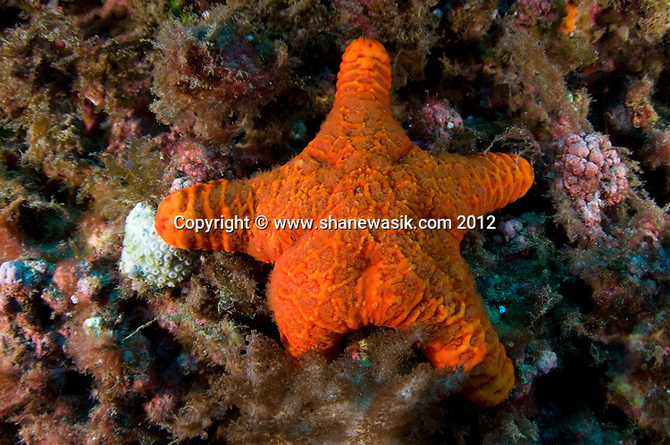 A cushion starfish off Raoul Island, Kermadecs.