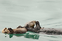 Sea Otter (Enhydra lutris) mom feeding while pup rests.  Mom usually touches pup between dives for food.