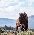 This bison looks like he's ready to go.