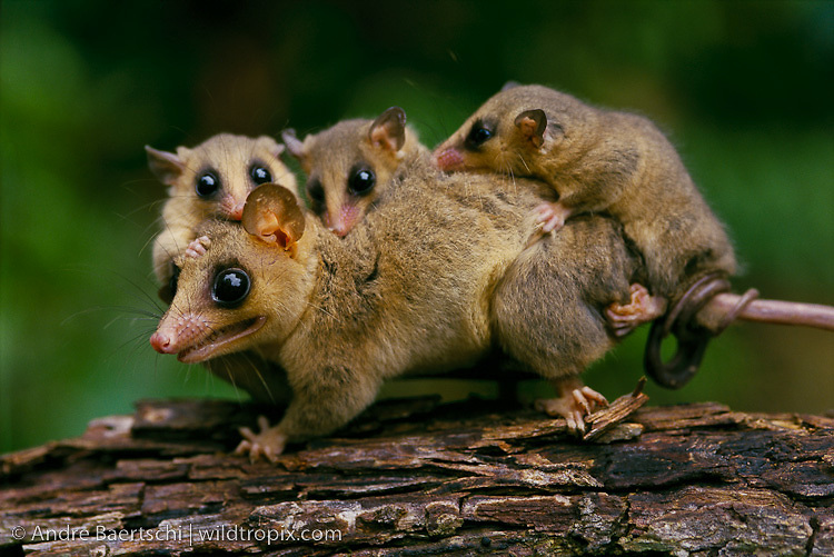 Mouse Opossum (Micoureus demerarae), female carrying young, tropical rainforest, Rio Tuichi, Madidi National Park, Bolivia.