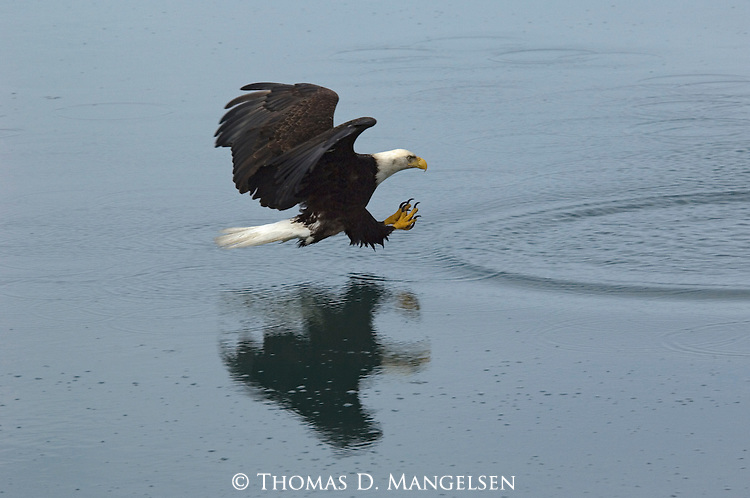 A hunting bald eagle is reflected in the water in Homer, Alaska.