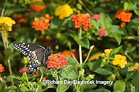 03009-015.18 Black Swallowtail (Papilio polyxenes) male on Red Spread Lantana (Lantana camara) Marion Co.  IL