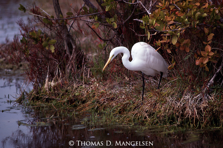 Portrait of a great egret in Everglades National Park.