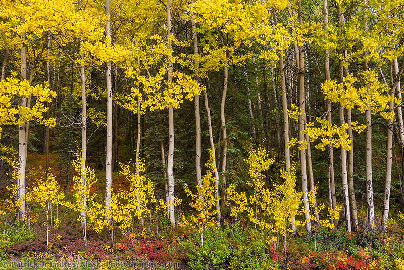 Aspen trees and autumn colors of the boreal forest floor, Denali National Park, Interior, Alaska.