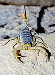 Desert Hairy Scorpion in a defensive position as I squatted down to the tripod to take the picture.  Taken in some of the some desert area south of Tuscon, Arizona