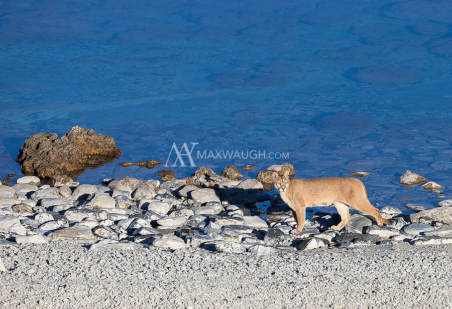A female puma walks along a lake shore in southern Chile.