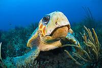 Loggerhead Sea Turtle (Caretta caretta) in Palm Beach, Florida, USA, Atlantic Ocean